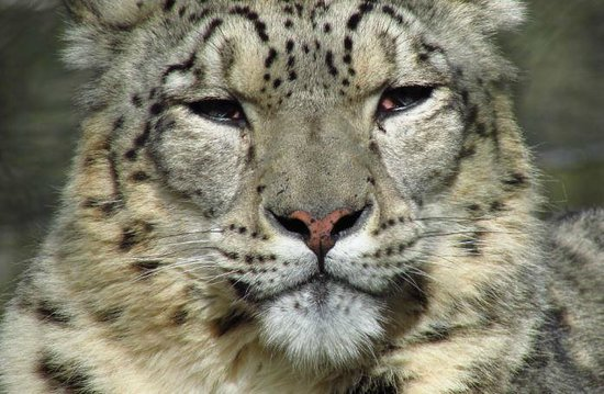 Marwell Zoo: Snow Leopard posing for the camera!