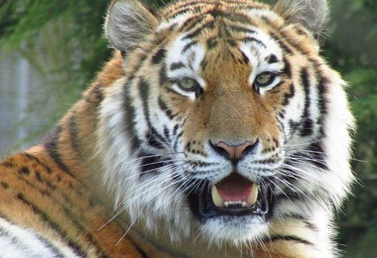 Marwell Zoo: Bengal Tiger, one of my favourite animals.