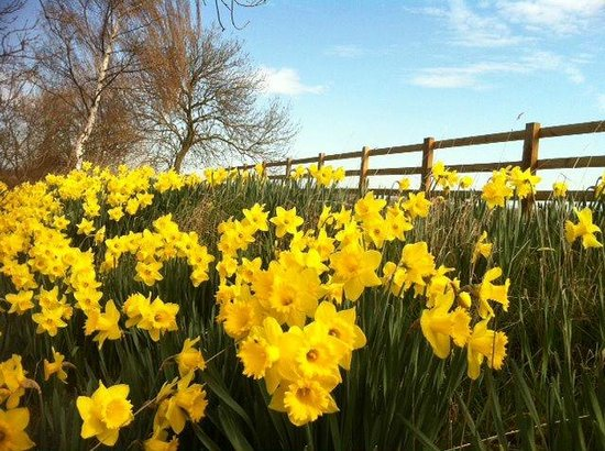 Mythe Farm Bed & Breakfast: Beautiful daffodils by the pond in spring