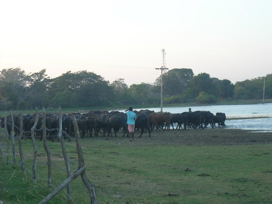 Flower Garden Lake Resort : Water buffaloes right outside the hotel!