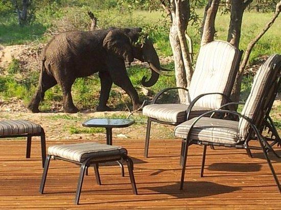 Elephant walks past nDzuti Safari Camp