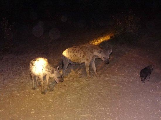 Bateleur Bushveld Camp: Hyena's met jongen