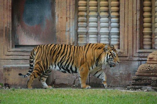 Zoo Miami: тигр на прогулке