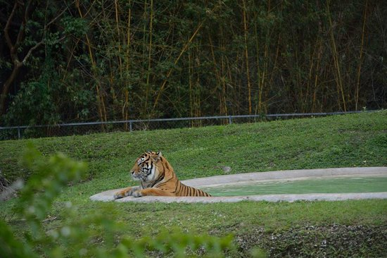 Zoo Miami: тигр очень любит поплавать в бассейне