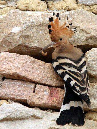 Saint-Martin-sous-Montaigu, France : La huppe qui niche chaque printemps dans le mur du gite La Petite Maison
