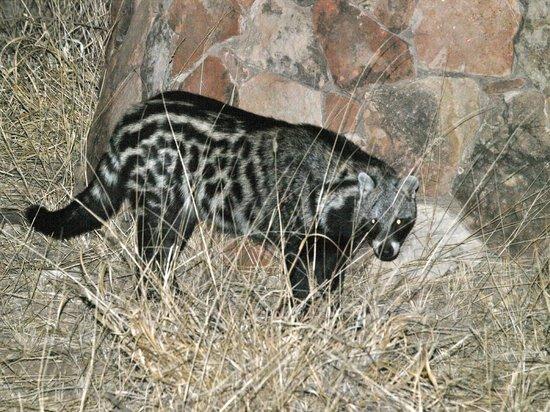 Leokwe Camp - Mapungubwe National Park: Genetkat