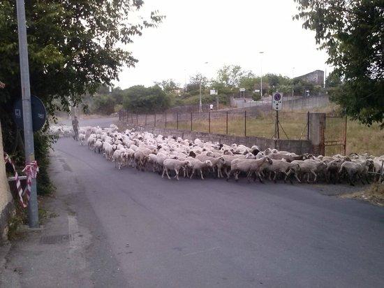 Villaggio Artemide: berger traversant la route pres de notre site hotelier