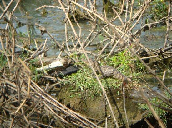 Albrook Inn: young cayman at pond
