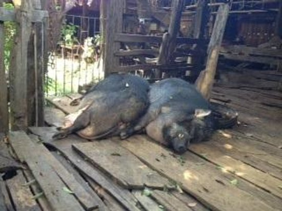 Mae Ping River Cruise: Boars at farmer's house on Mae Ping cruise