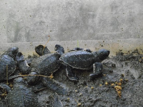 Hotel Riu Guanacaste: Baby turtles hatched from protected nest area