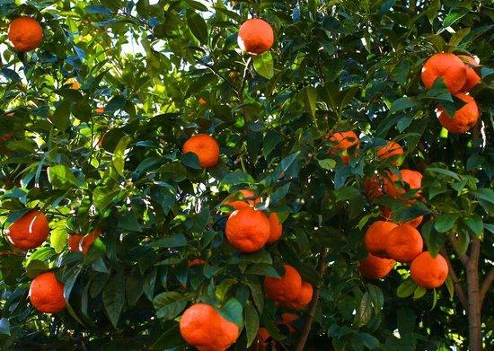 Sunprime Palma Beach : Apelsin träd på Mallorca