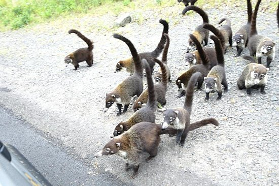 Go Tours Costa Rica - Day Tours: Coati's from van