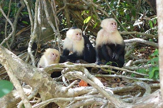 Go Tours Costa Rica - Day Tours: White-faced monkeys at Manuel Antonio park