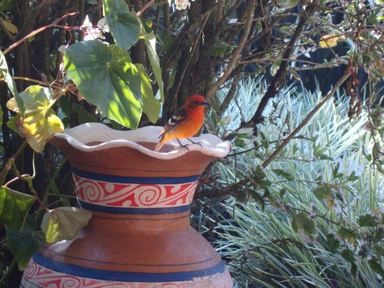 Boquete Garden Inn: A flame-colored tanager visited us during breakfast