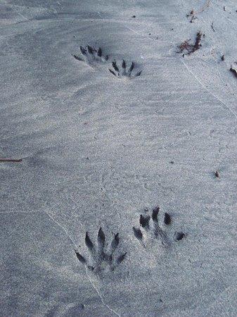"The Resort at Isla Palenque: ""mangrove cat/raccoon"" tracks"