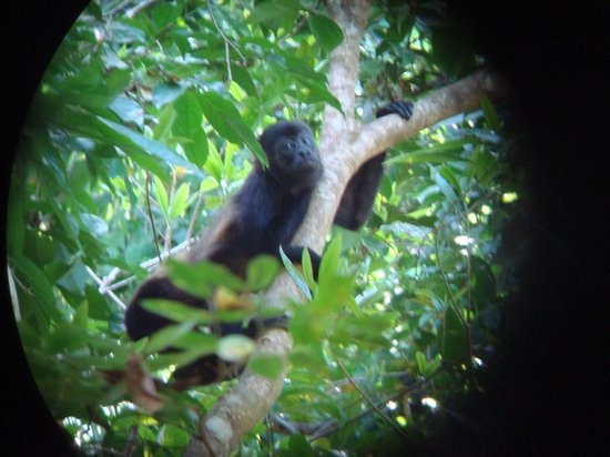 Isla Palenque: island resident - howler monkey