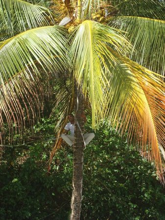 Isla Palenque: Rodolpho climbed the trees to get the freshest coconuts!