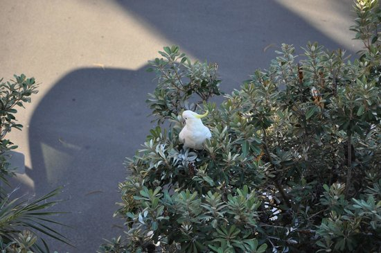The Sebel Manly Beach: Found this fellow off the balcony