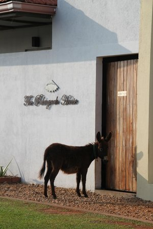 The Palmyrah House: Poncho the resident 'watch' donkey