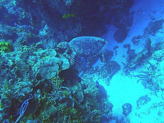 El Pulpo Divers: Turtle feeding