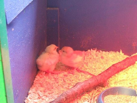 Gower Heritage Centre: chicks
