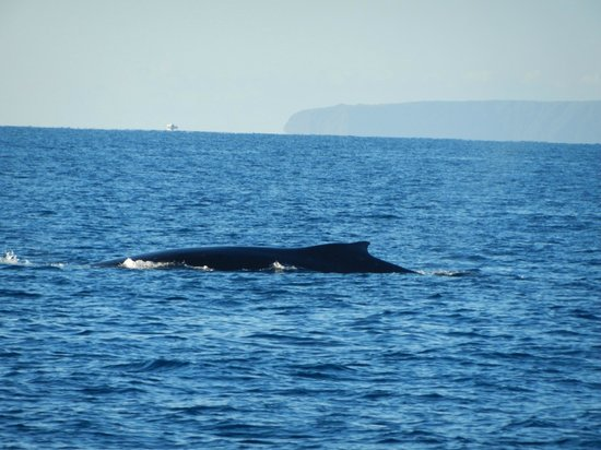 Maui Magic: Whale, right by the boat!