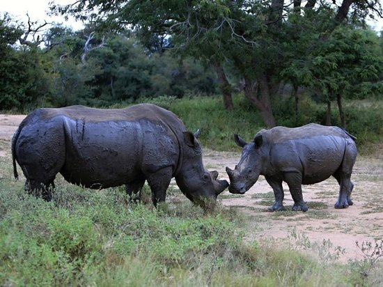 Tshukudu Bush Camp: rhinos