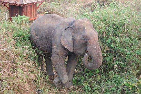 Four Seasons Tented Camp Golden Triangle : Sunrise elephant trek
