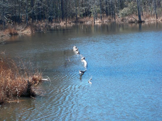 Paul B. Johnson State Park: Turtles sunning themselves on some logs