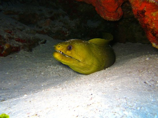 Two D's Diving and Tour Adventures: Green moray eel