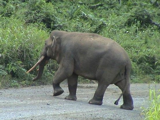 Elephant on road into reserve - Picture of Deramakot ...