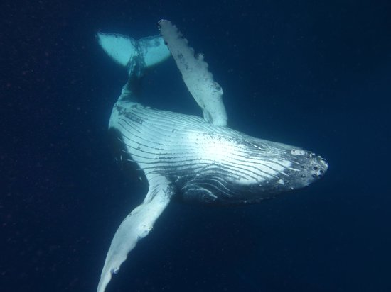Whales in the Wild : Calf showing us her belly