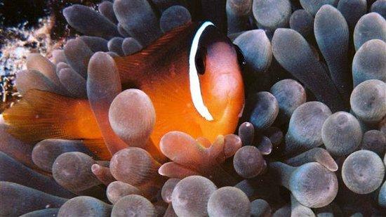 Beqa Lagoon Resort: Nemo