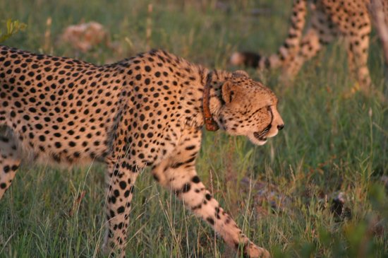 Etali Safari Lodge: tracking cats