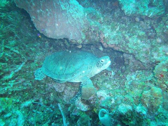 Splash Inn Dive Resort : We saw many turtles