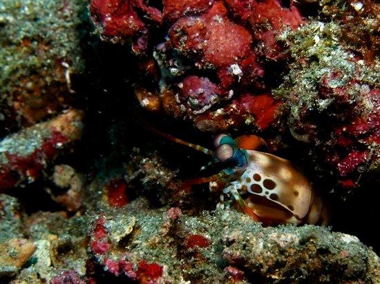 Joe's Gone Diving: shy Mantis Shrimp at Jepun