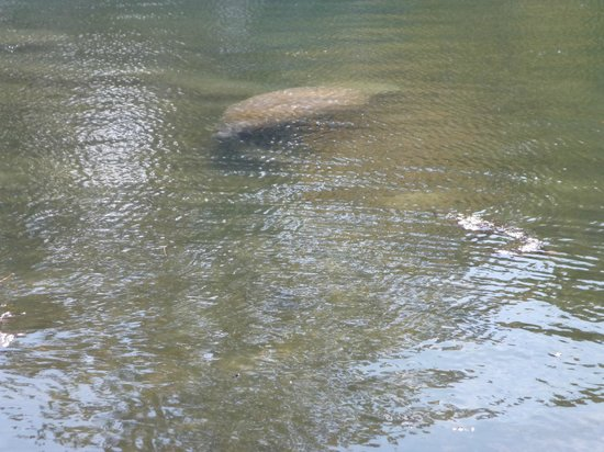 Sunshine River Tours - Crystal River Manatee Tours: Ламантин