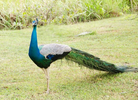 Jetwing Vil Uyana : peacock in the grounds