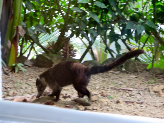Oxygen Jungle Villas : Friendly coatimundi outside our room