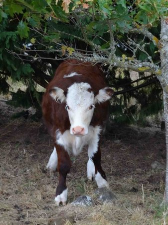 Loch Vista Lakeview Accommodation: Cute baby cow!