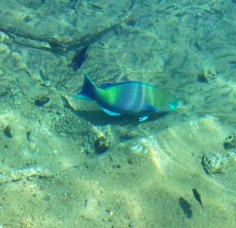 U Coral Beach Club Eilat: Poisson perroquet au bord de l'eau