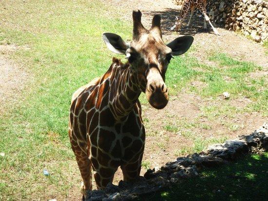 Safari Park: жираф проявил интерес