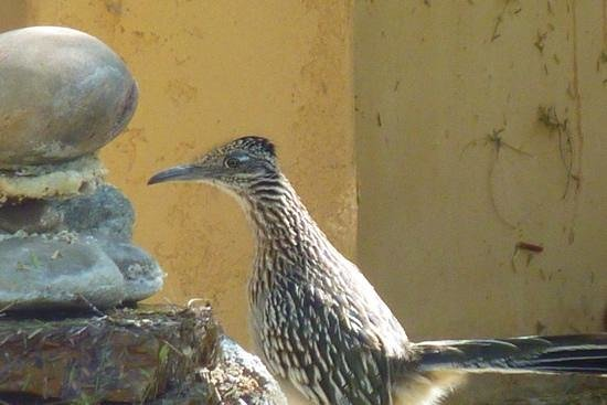 Hacienda Hot Springs Inn: Roadrunner