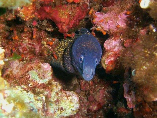 Dawn Diving : Moray eel