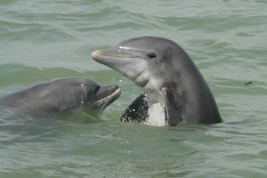 Everglades City, Floryda: Friendly dolphins - 10,000 Islands.  Photo by Steve Rothenberg