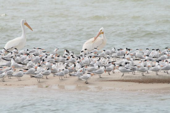 Everglades National Park Boat Tours: White Pelicans and Royal Terns - Photo by Steve Rothenberg