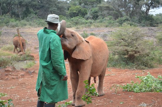 David Sheldrick Wildlife Trust: Кормление.