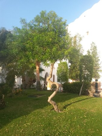Dahab Resort : дерево околот столовки