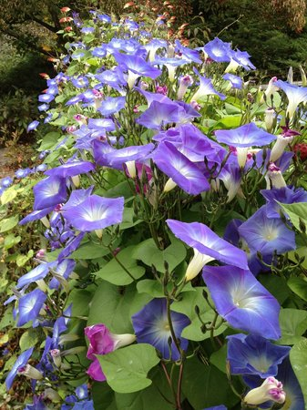 Hasbrouck House: Morning glories at Poolside