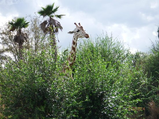 Disney's Animal Kingdom: giraffe